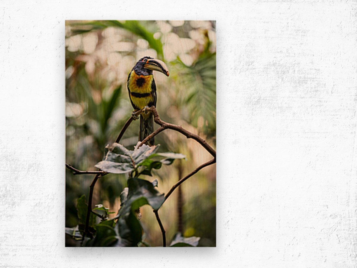 Standing Out  Tucan  Wood print