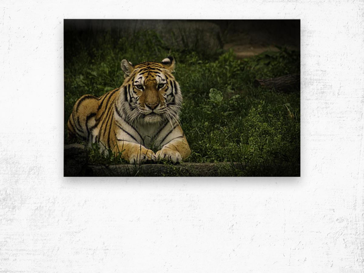 Next Strike  Tiger  Wood print
