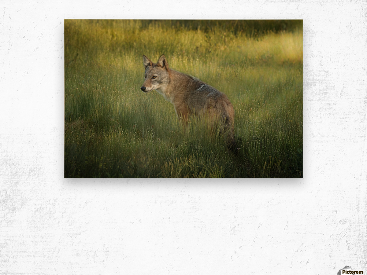 Evening Coyote Wood print