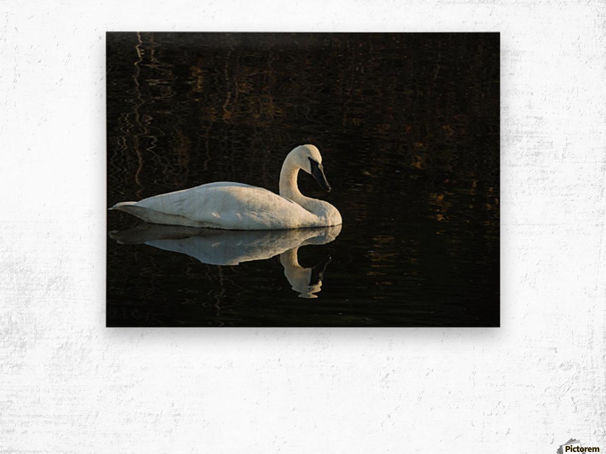 Trumpeter Swan at Estuary Wood print