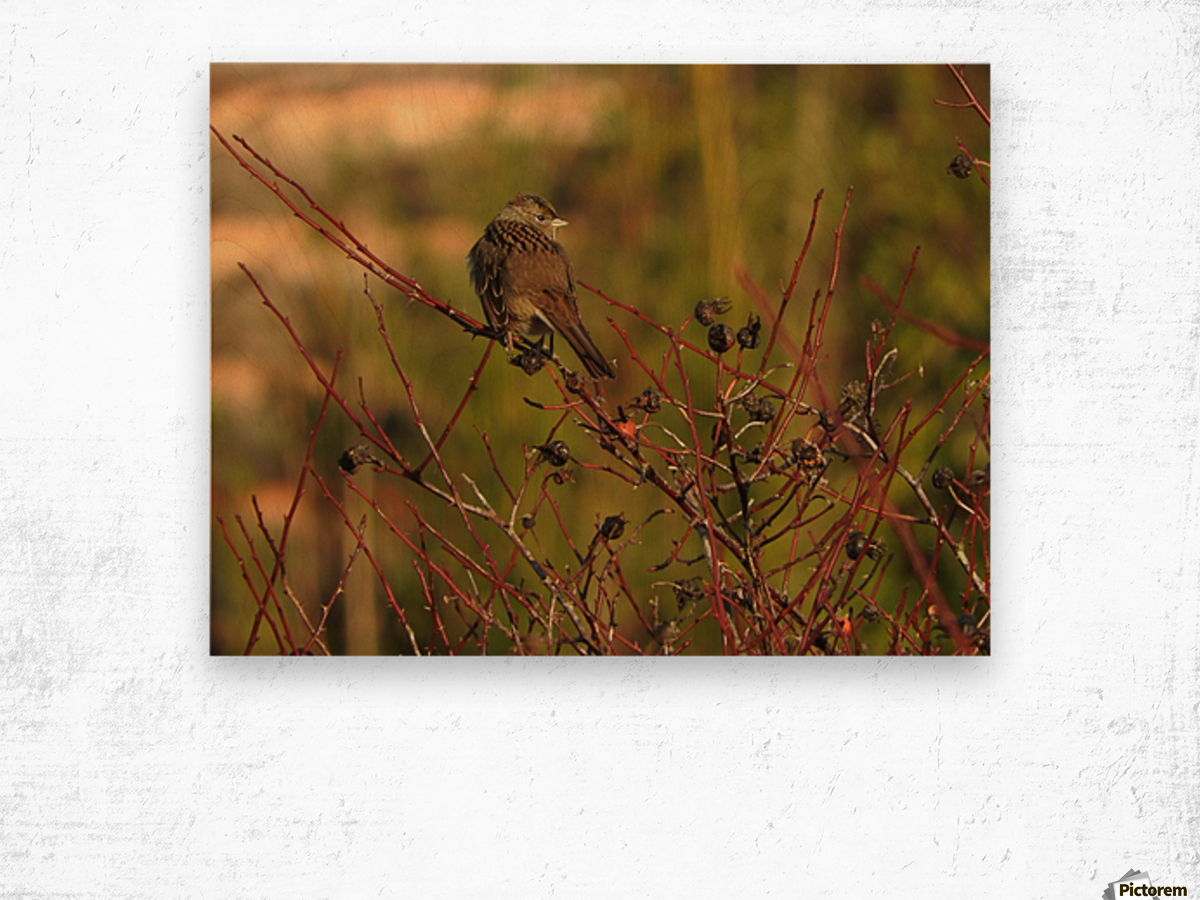 Sparrow on Wild Rose  Wood print