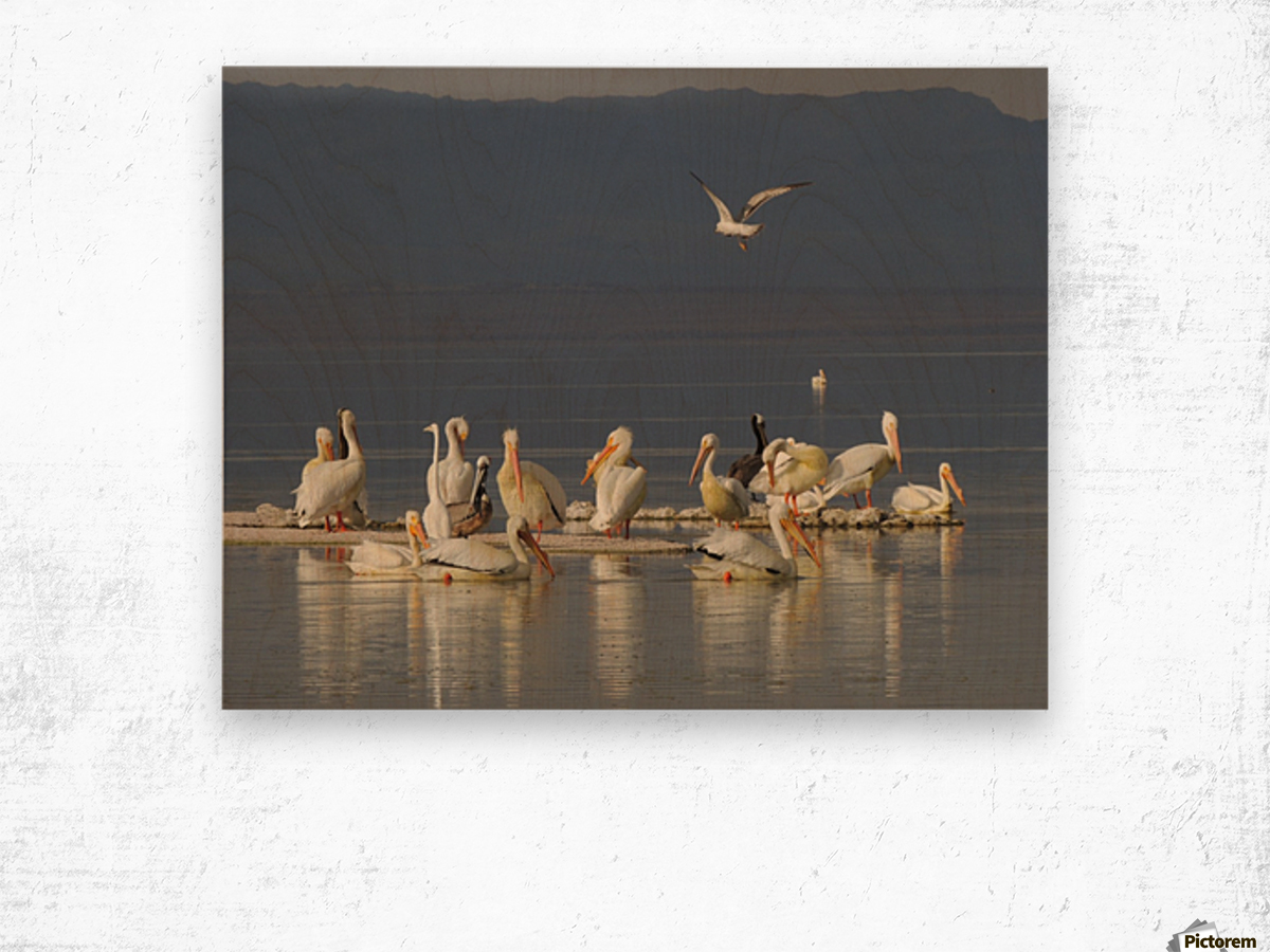 Pelicans of the Salton Sea Wood print