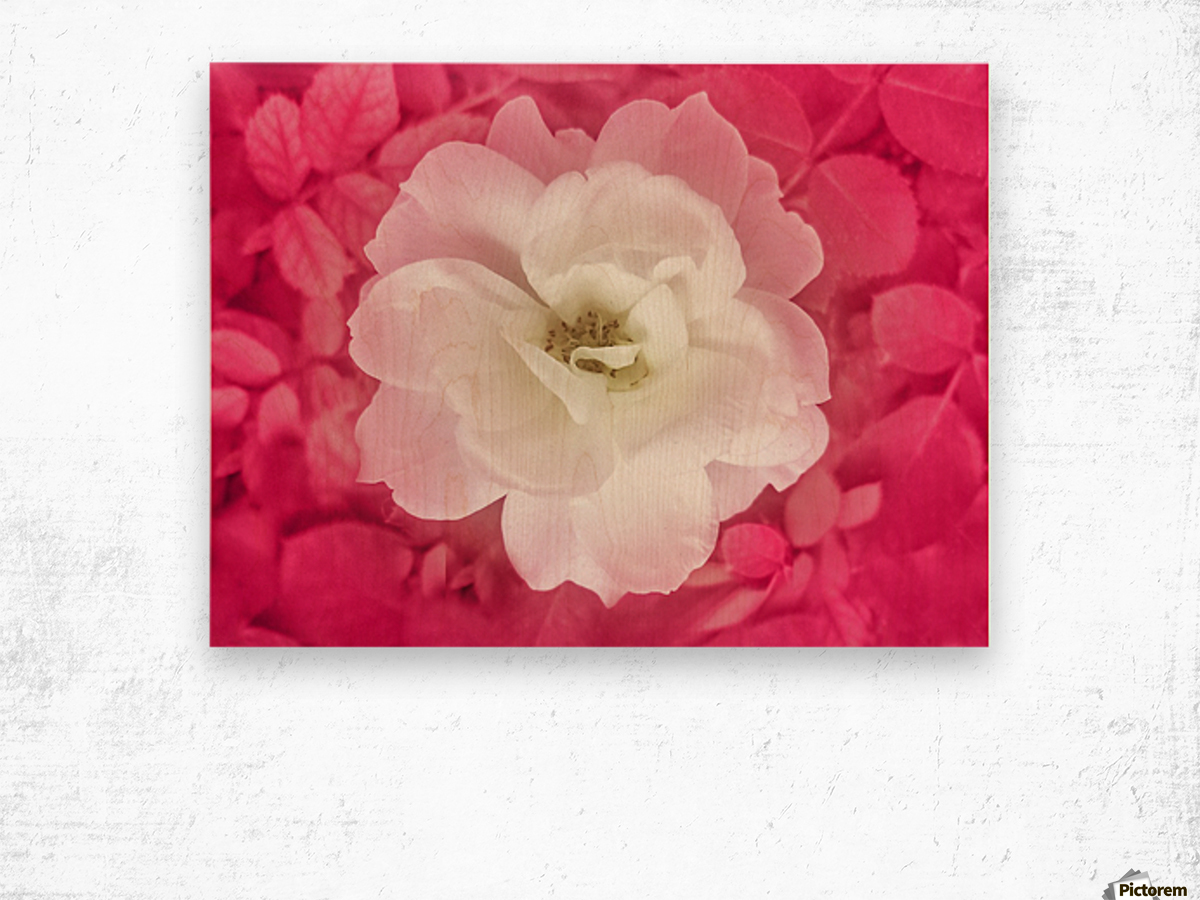 White Rose Top View Wood print
