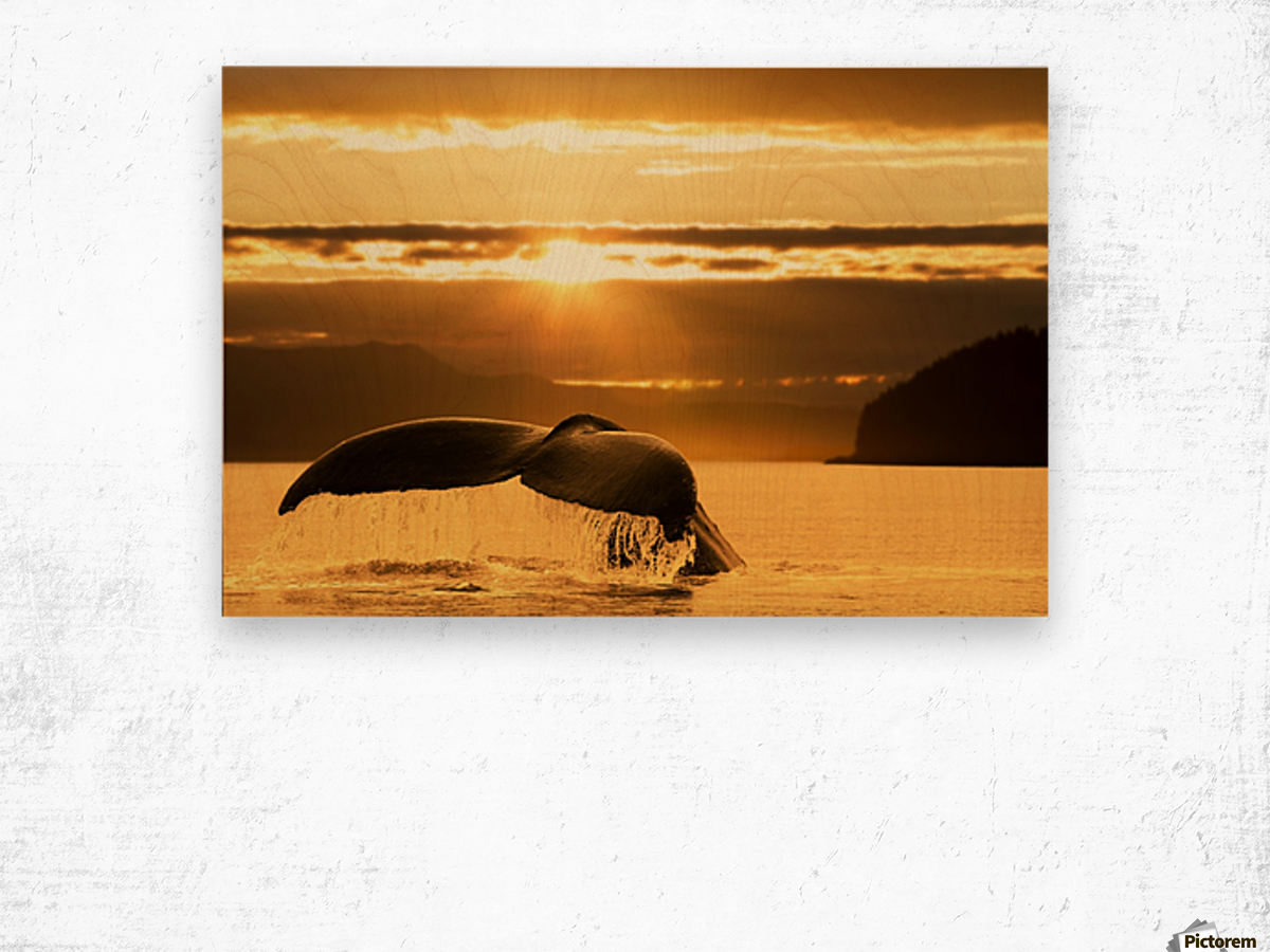 A Humpback Whale returns to the depths of Alaska's Inside Passage as the sun begins to set, Stephens Passage, near Juneau. Wood print