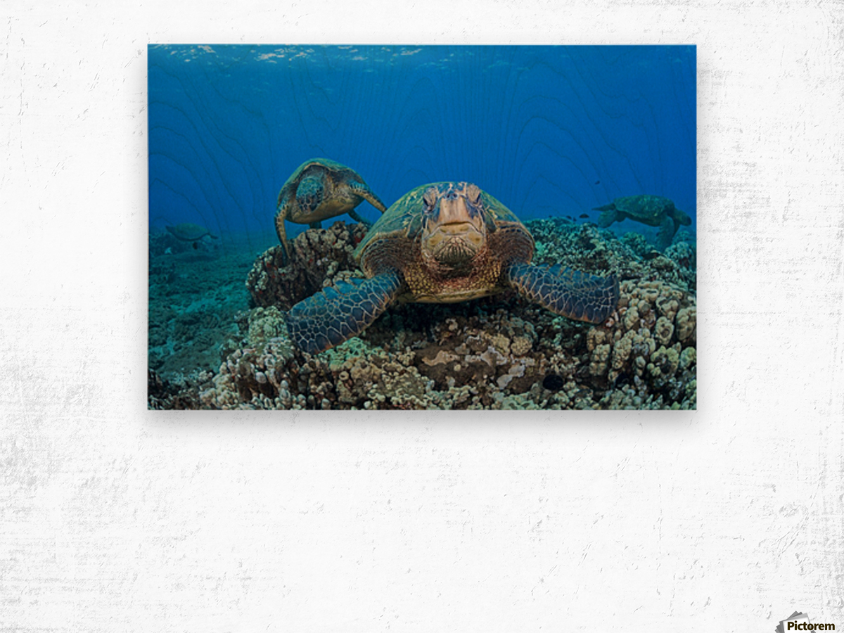 Several green sea turtles (Chelonia mydas), an endangered species, gather at a cleaning station off West Maui; Maui, Hawaii, United States of America Wood print