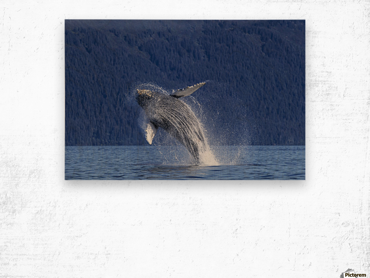 A young Humpback Whale leaps from the calm waters of the Stephens Passage near Tracy Arm, Southeast Alaska, USA. Wood print