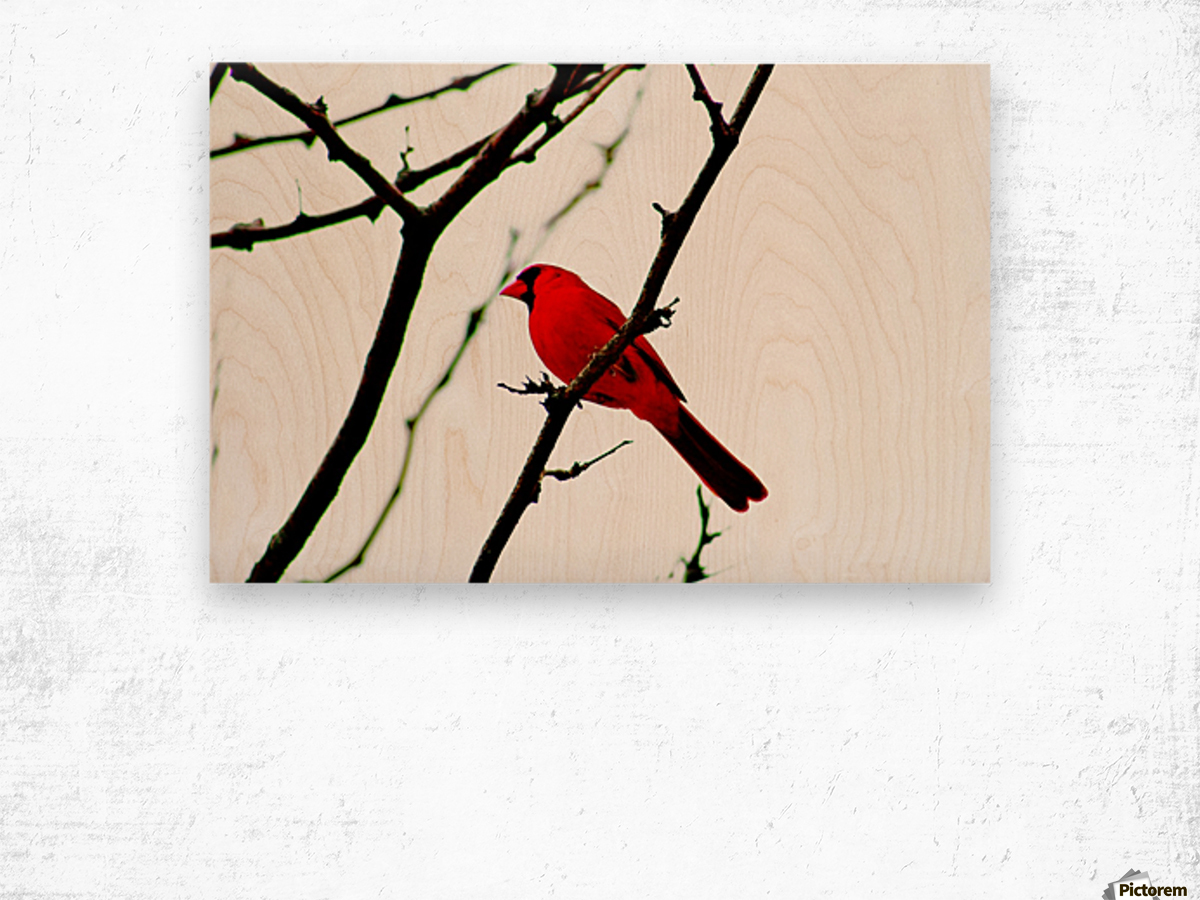 Cardinal Male Wood print