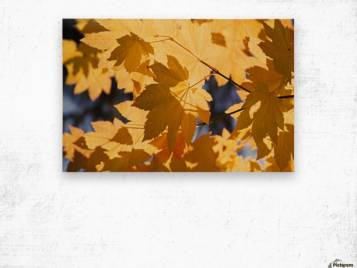 Vine Maples Leaves In Autumn Wood print
