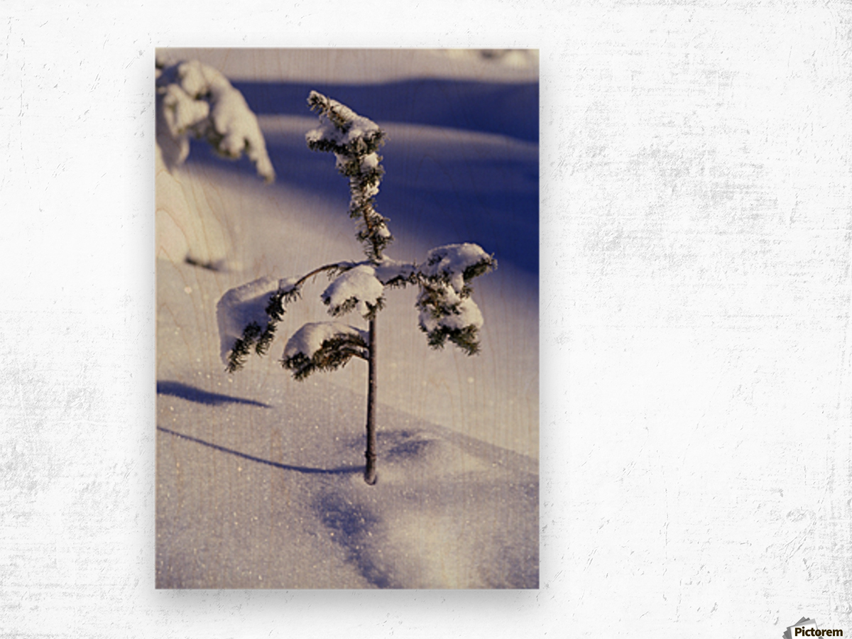 Heavy Snow On Young Pine Tree Wood print