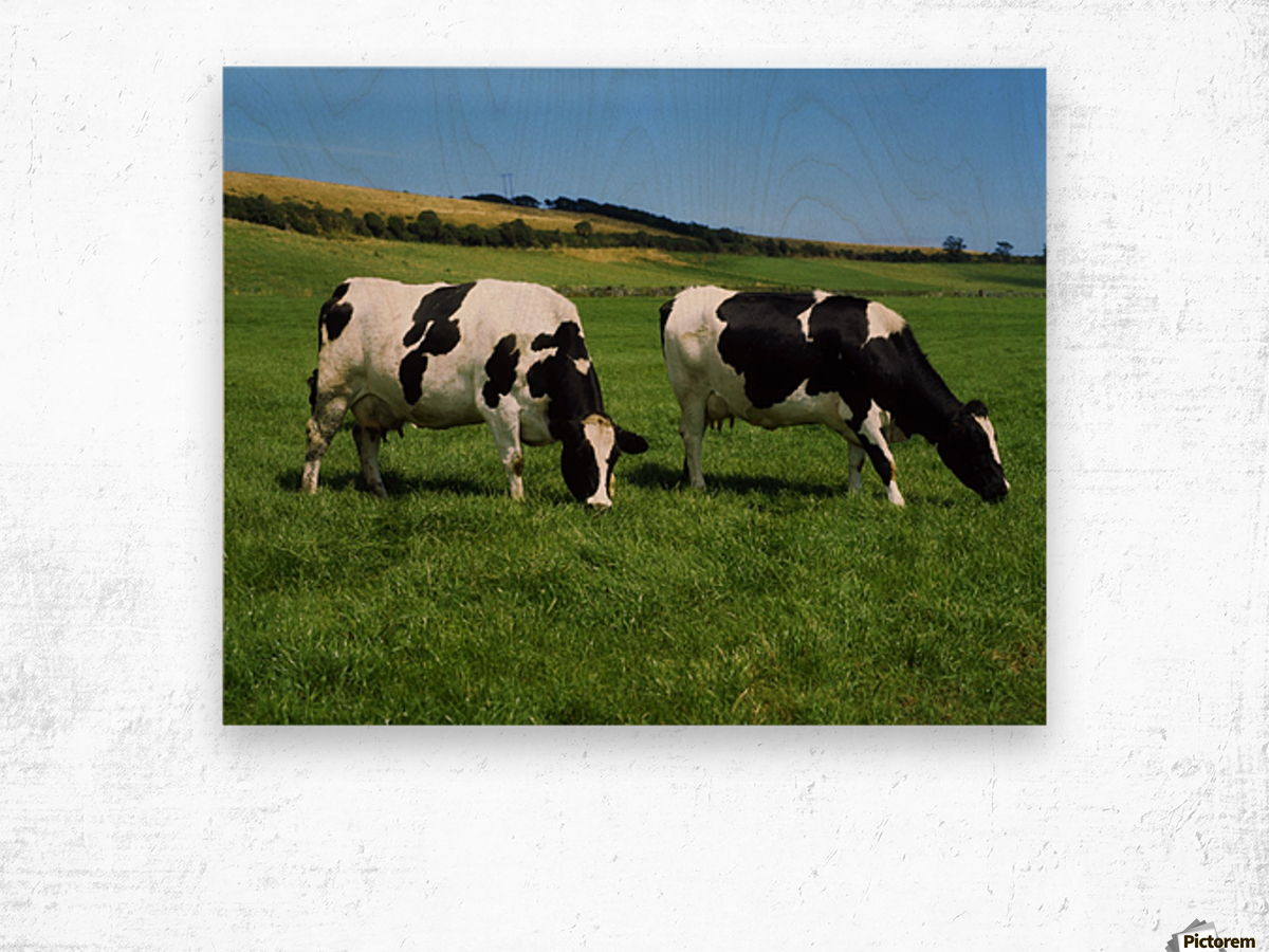 County Cork, Ireland, Dairy Cattle Wood print