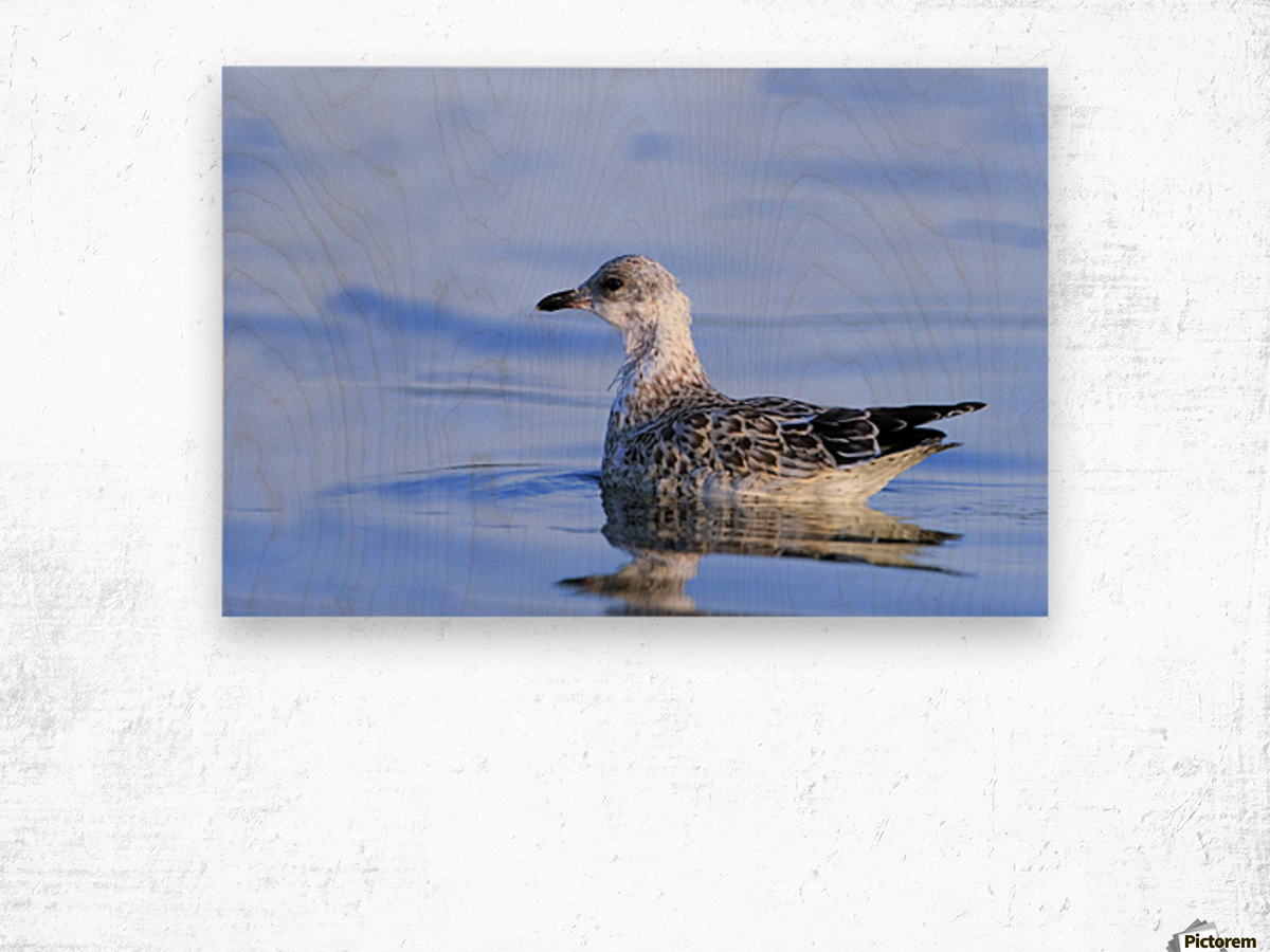 Young Gull Swimming Wood print
