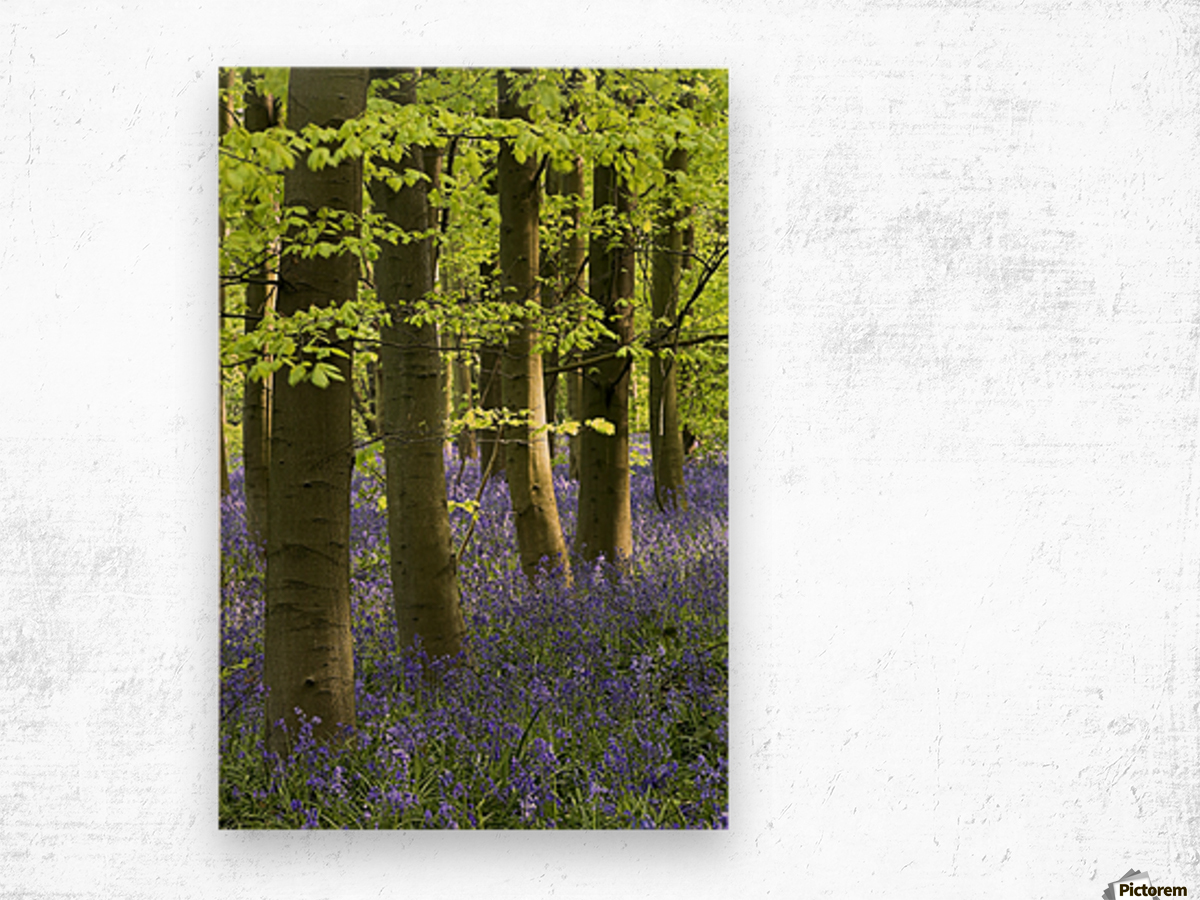 Bluebells In The Woods, Nottinghamshire, England Wood print