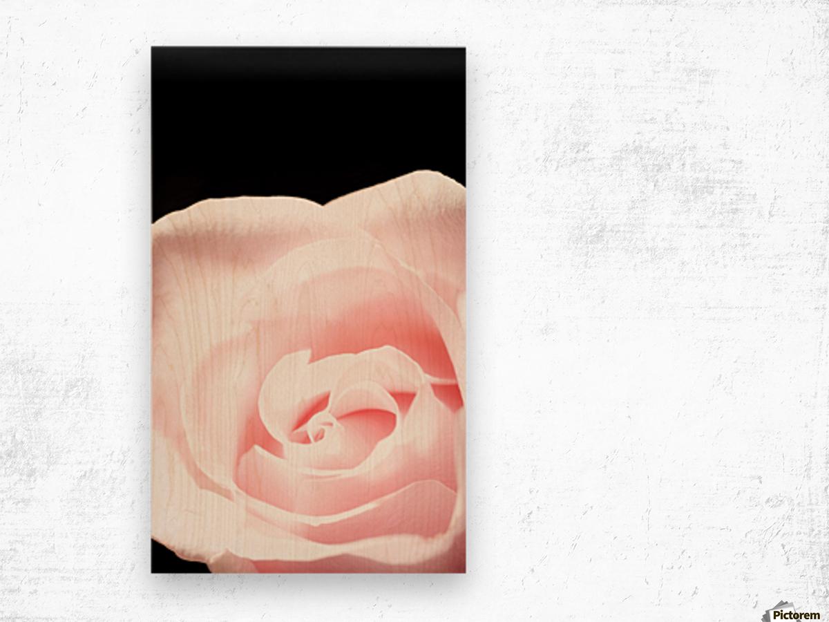 Pink Rose, Close-Up Wood print