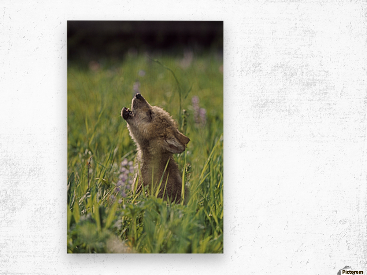 Wolf Puppy Howling In Mountain Meadow Wood print