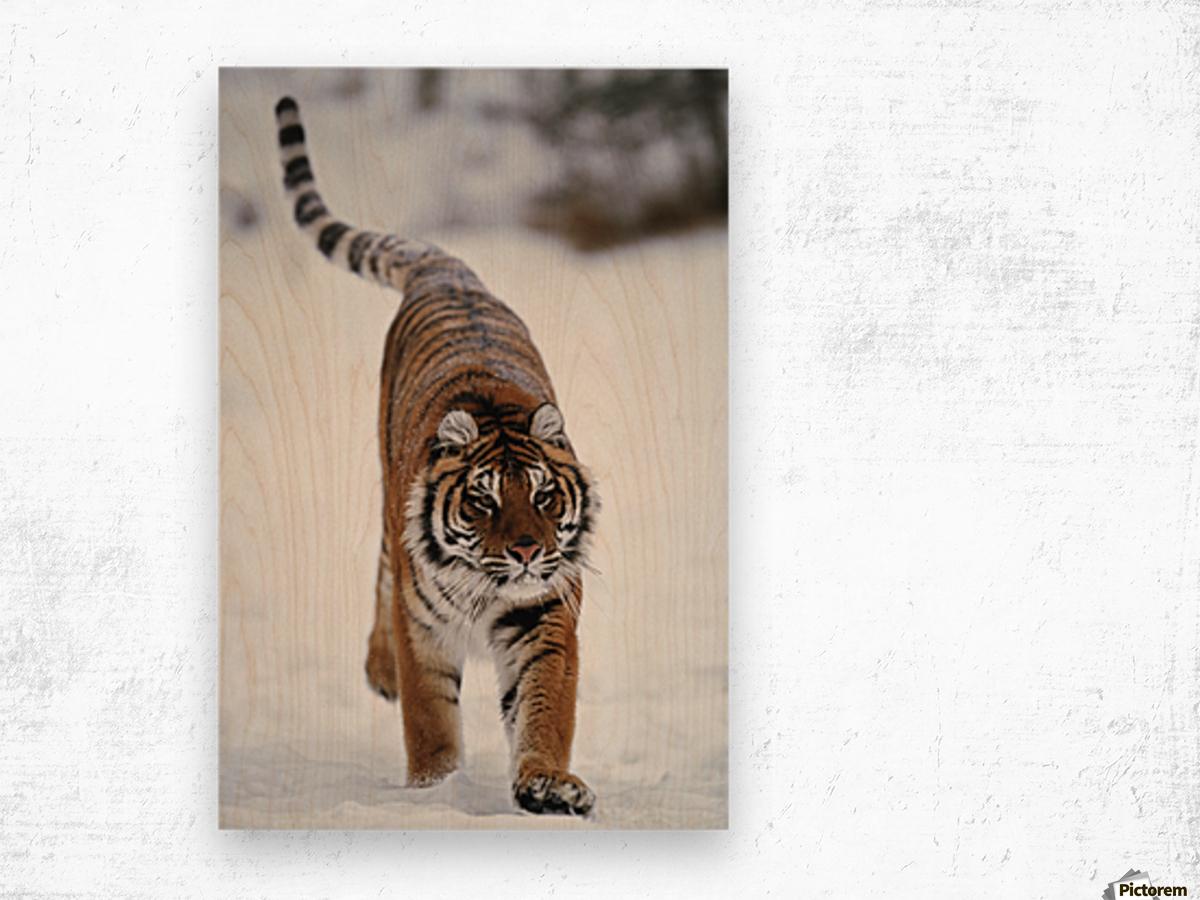 Siberian Tiger In Snow Wood print
