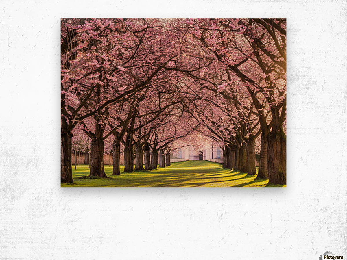 Cherry Blossom in a Park Wood print