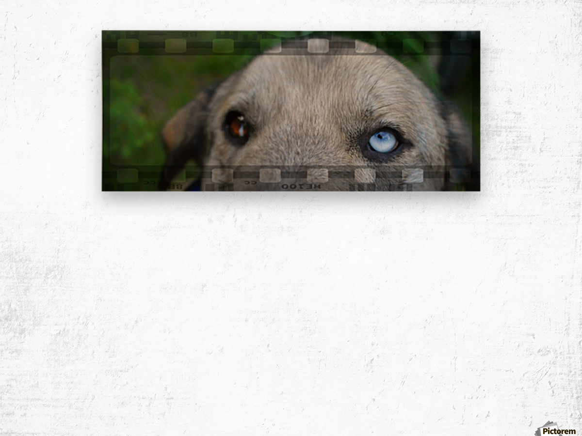 Blue Eyed Dog Impression sur bois