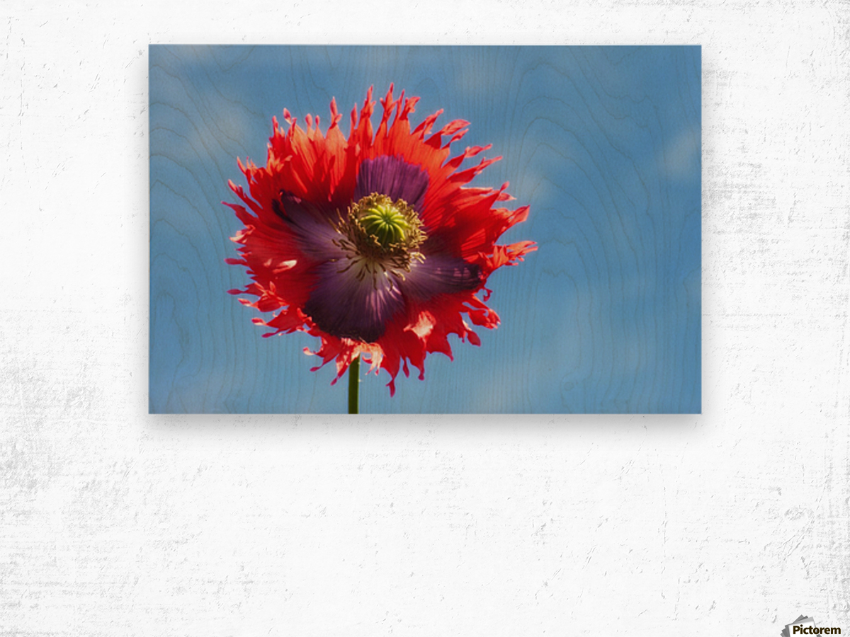 A Colorful Flower With Red And Purple Petals Against A Blue Sky; Northumberland, England Wood print