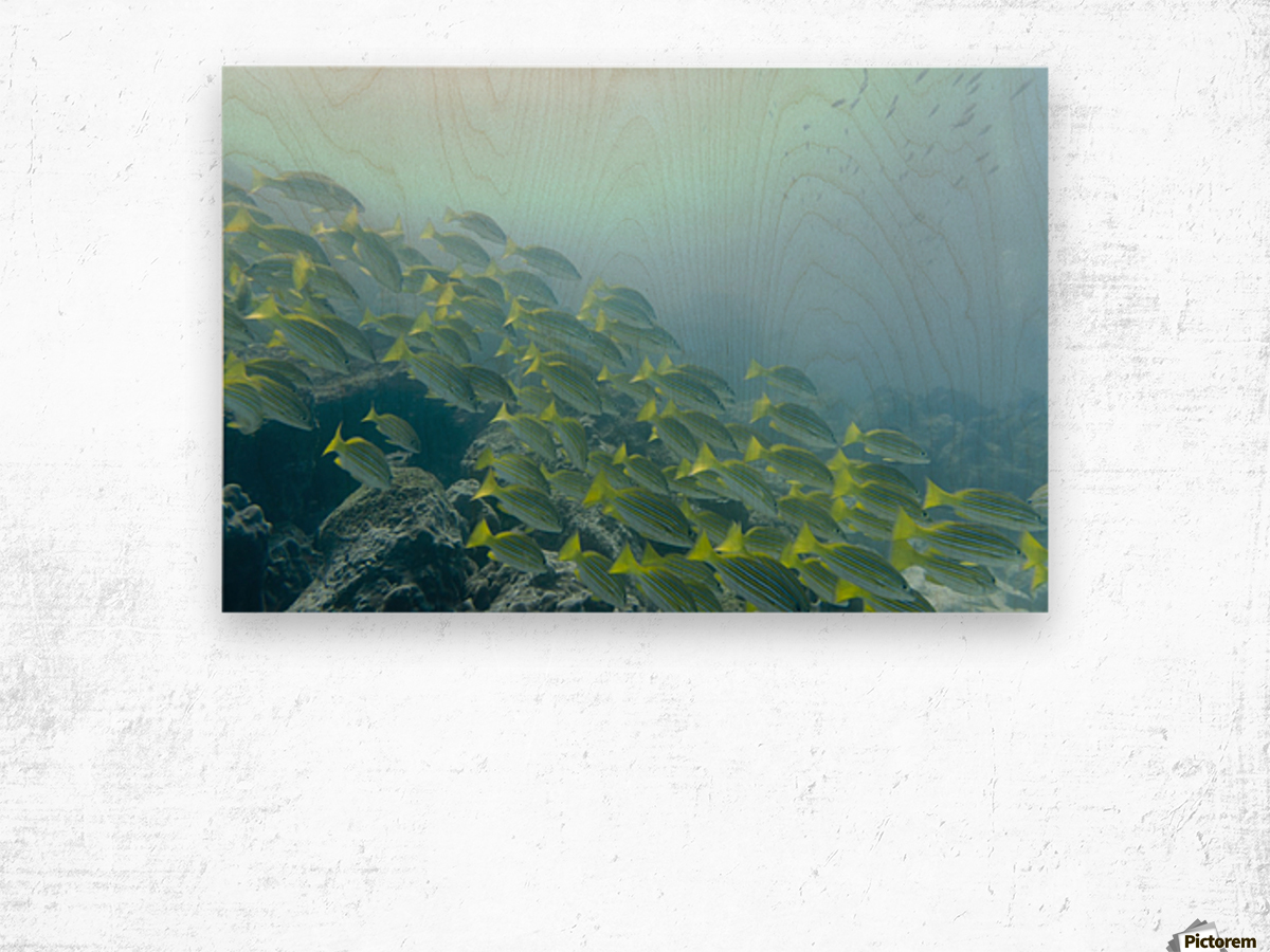 A School Of Fish Swimming Underwater; Galapagos, Equador Wood print