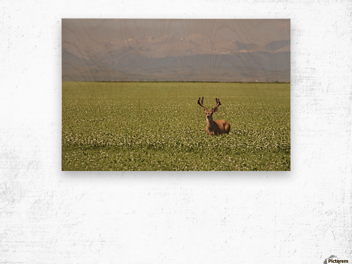 Male Deer With Antlers In A Flowering Pea Field With Mountains And Foothills In The Background; Alberta, Canada Wood print