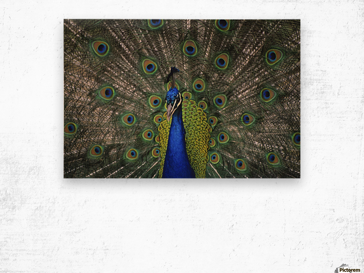 Peacock In Open Feathers, Victoria, Bc Canada Wood print