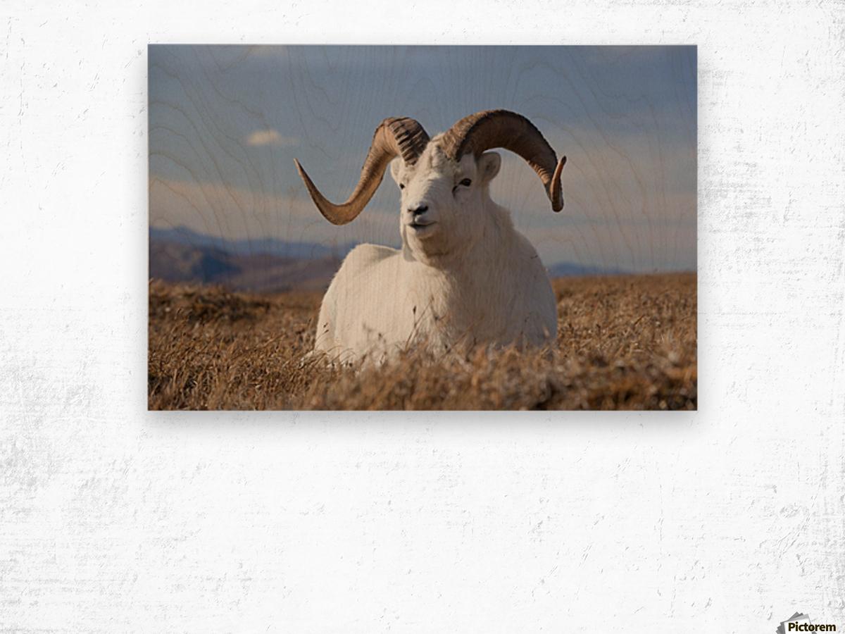 A Dall Sheep Ram Lies On A High Mountain Meadow In Denali National Park And Preserve, Interior Alaska, Autumn Wood print