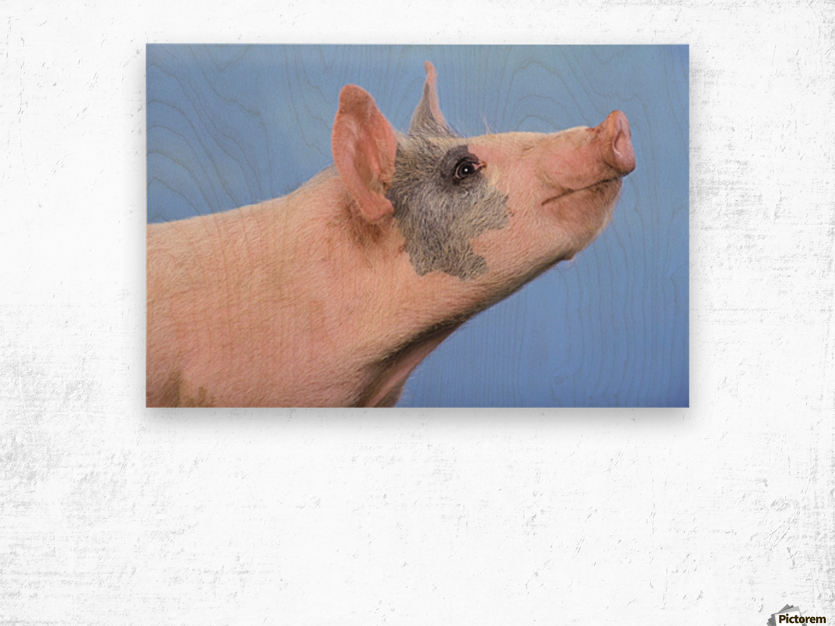Pig with a blue background;British columbia canada Wood print