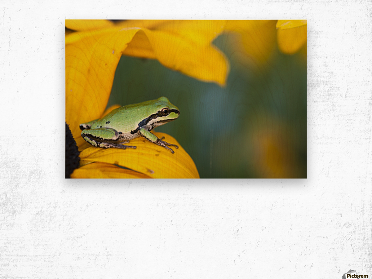 A Pacific Tree Frog (Pseudacris Regilla) Hunts For Insects On A Rudbeckia Blossom; Astoria, Oregon, United States Of America Wood print