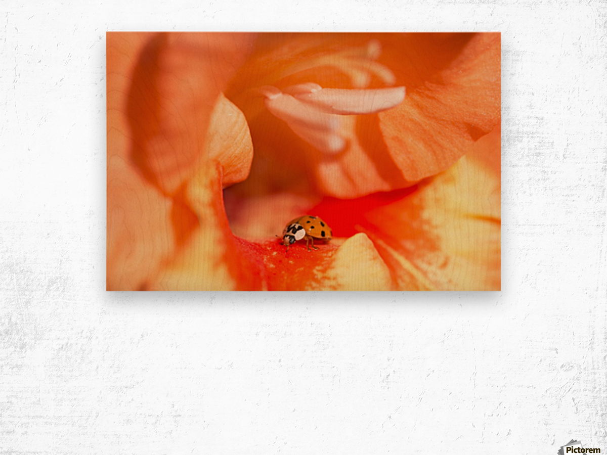 A Ladybug Beetle Searches For Prey In A Gladiolus Blossom; Astoria, Oregon, United States Of America Wood print