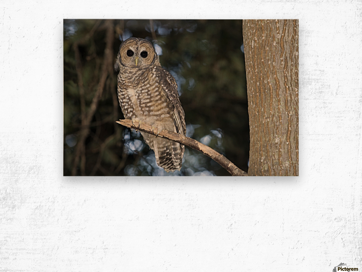 Spotted Wood Owl Strix Seloputo In An Old Growth Redwood Forest Big Sur California United States Of America Pacificstock