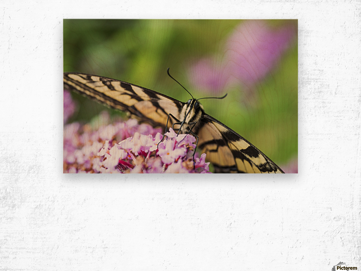 A swallowtail butterfly seeks nectar on a butterfly bush; Astoria, Oregon, United States of America Wood print