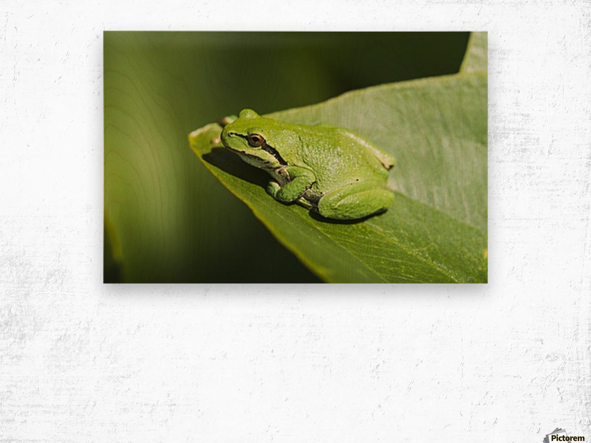 A Pacific Tree Frog (Pseudacris regilla) rests on a Wapato Leaf; Astoria, Oregon, United States of America Wood print