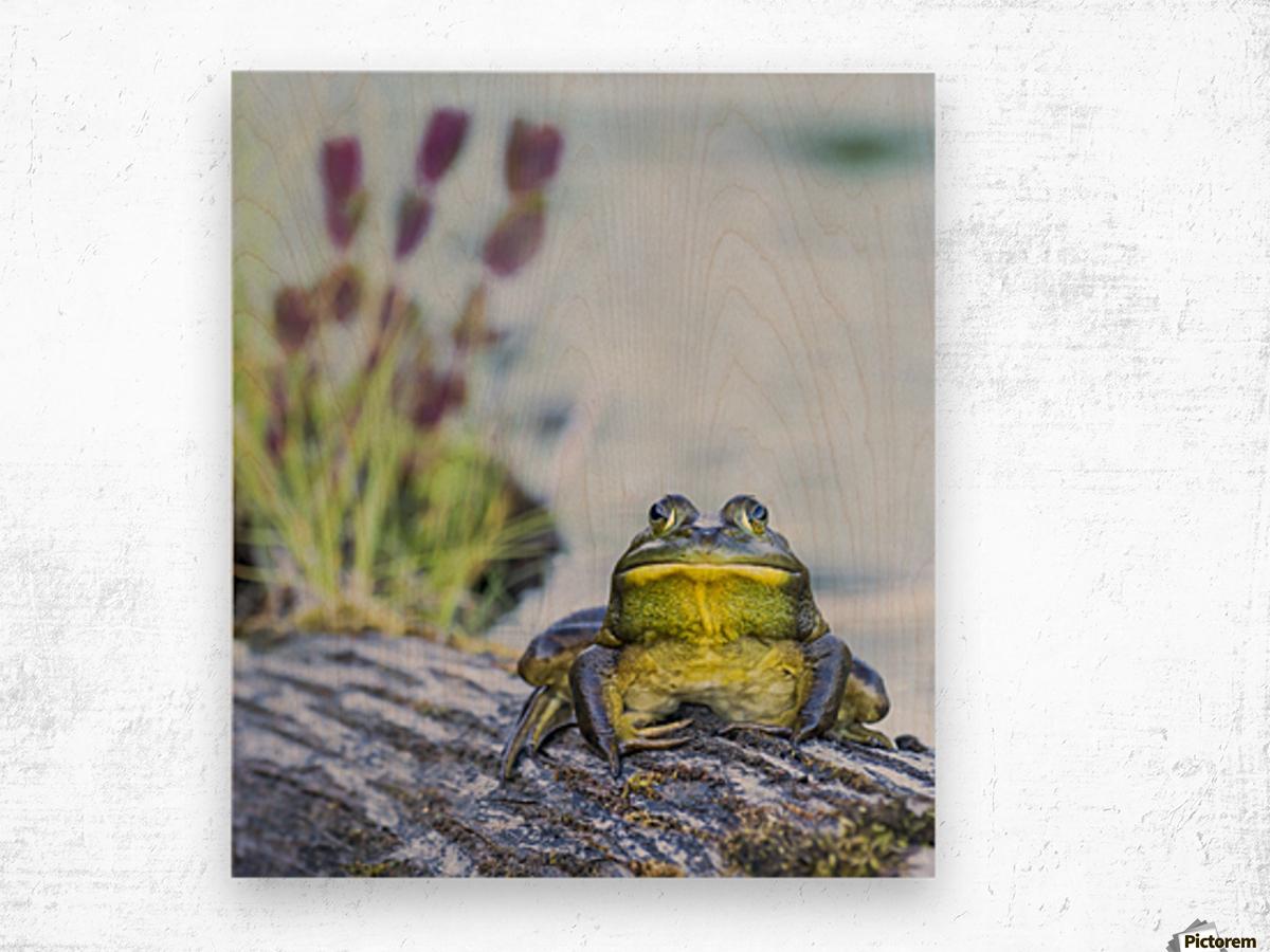 Bull frog (rana catesbeiana) resting on a log beside a lake; Ontario, Canada Wood print