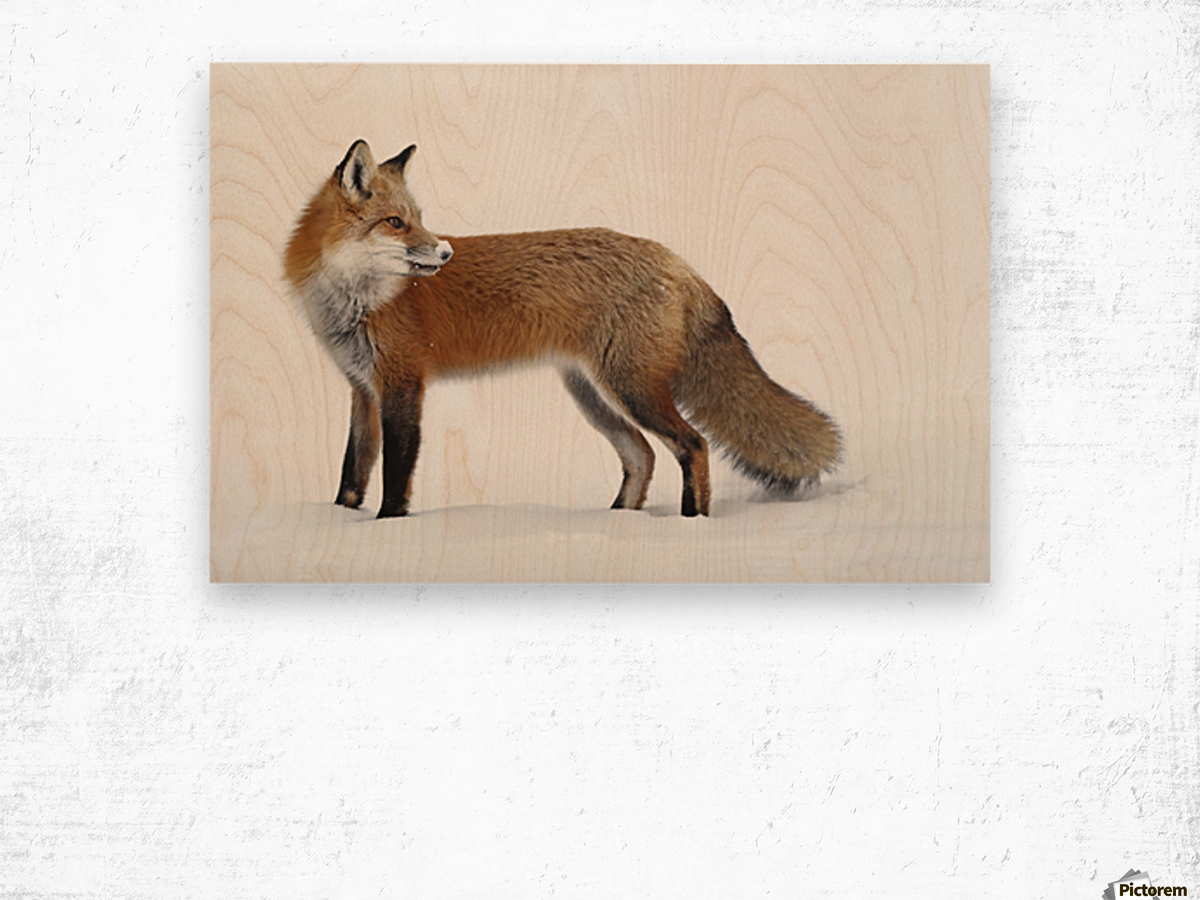 Fox in the snow; Montreal, Quebec, Canada Wood print