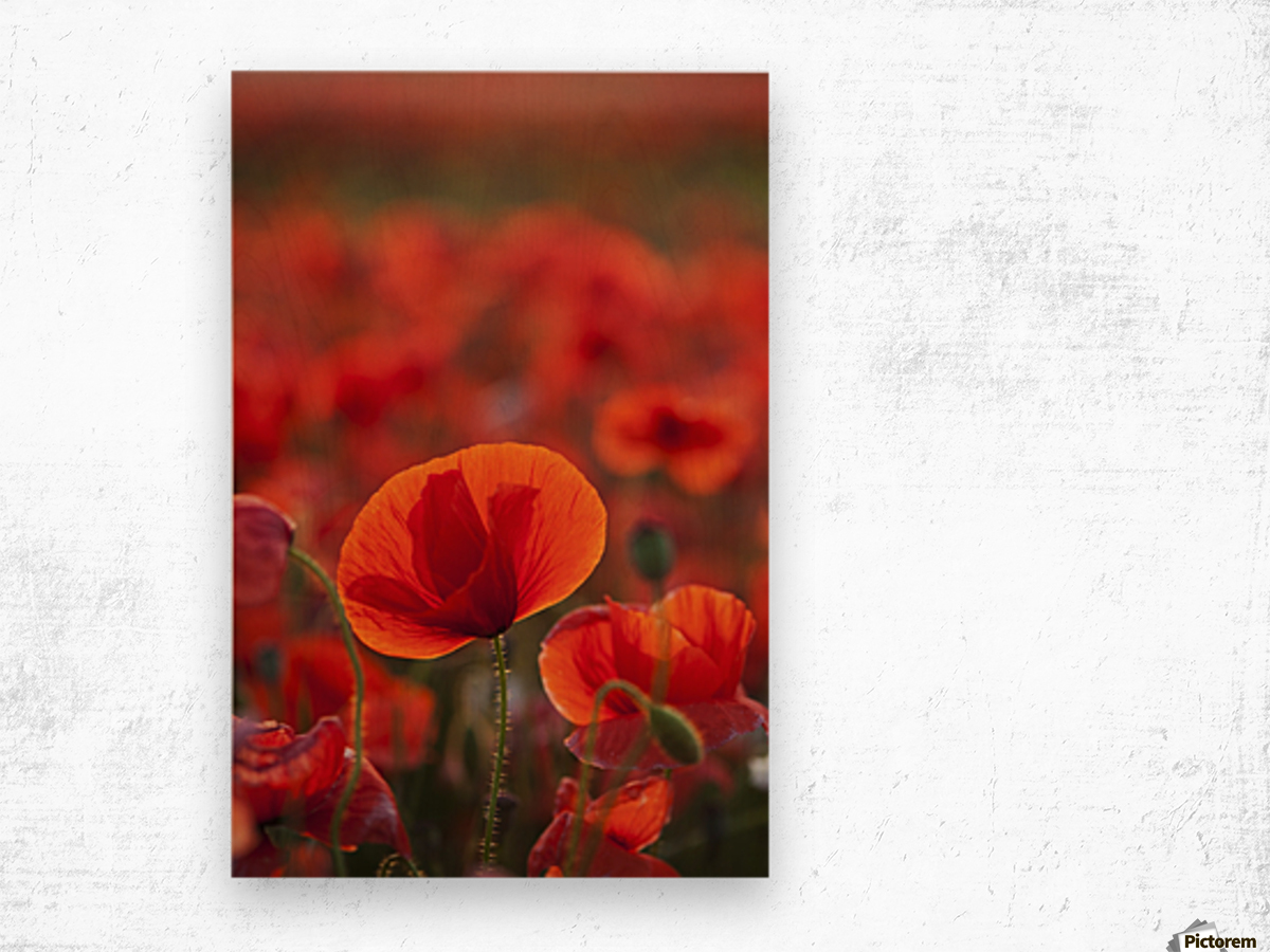 Common Poppy (Papaver rhoeas) covering an arable field; North Yorkshire, England Wood print