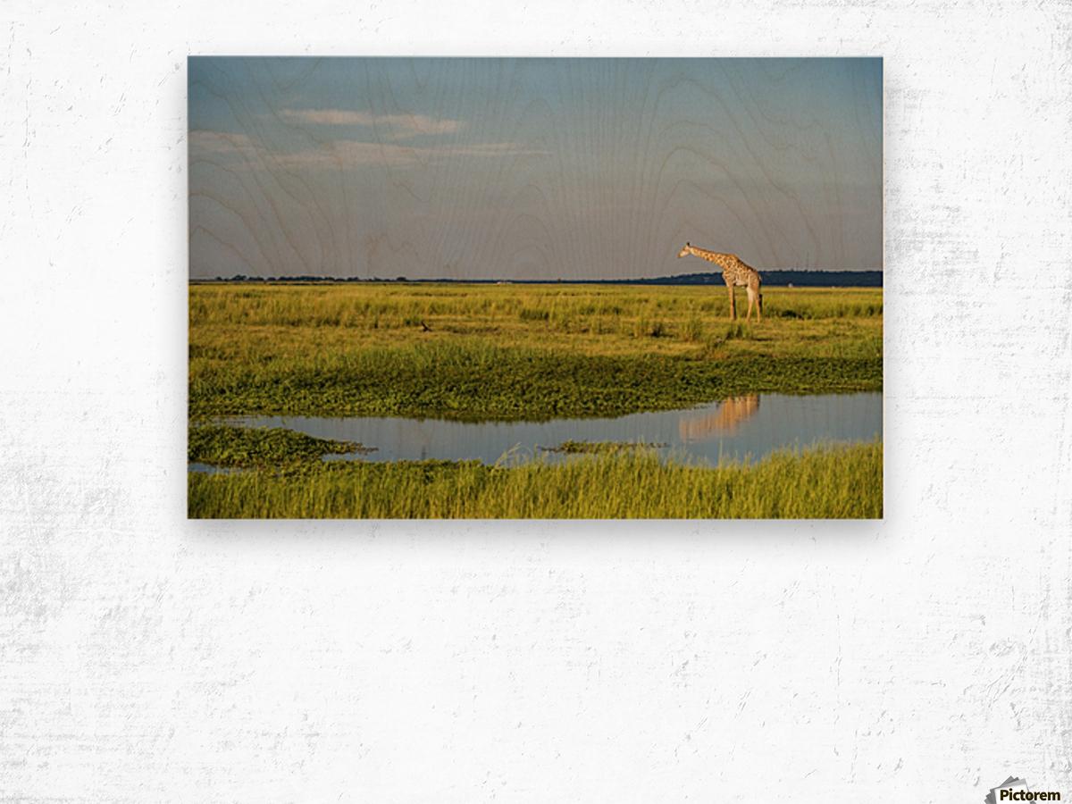 Giraffe (Giraffa camelopardalis), Chobe National Park; Kasane, Botswana Wood print