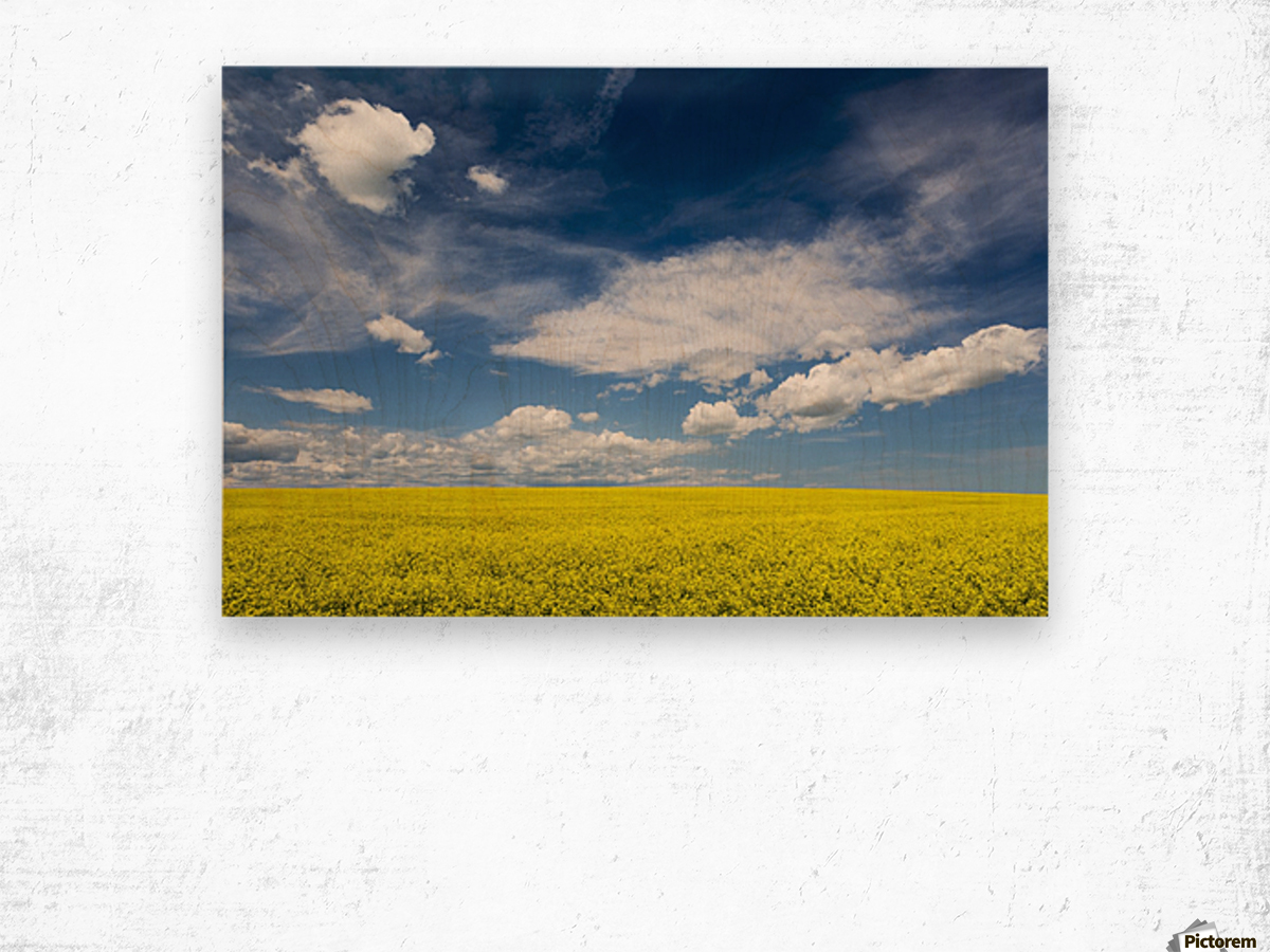 Flowering canola field with clouds and blue sky; Alberta, Canada Wood print