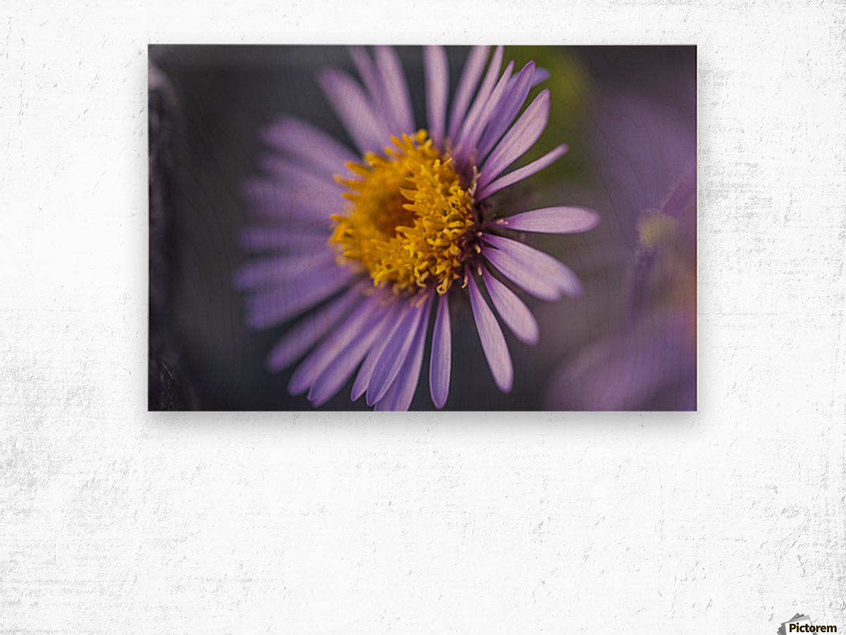 Siberian Aster along the Marsh Fork of the Canning River in the Arctic National Wildlife Refuge, Summer, Alaska   Wood print