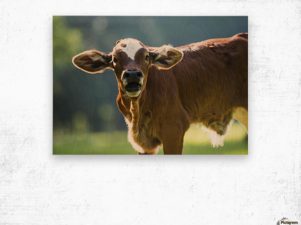 Herford calf bawls for it's mother; Gaitor, Florida, United States of America Wood print