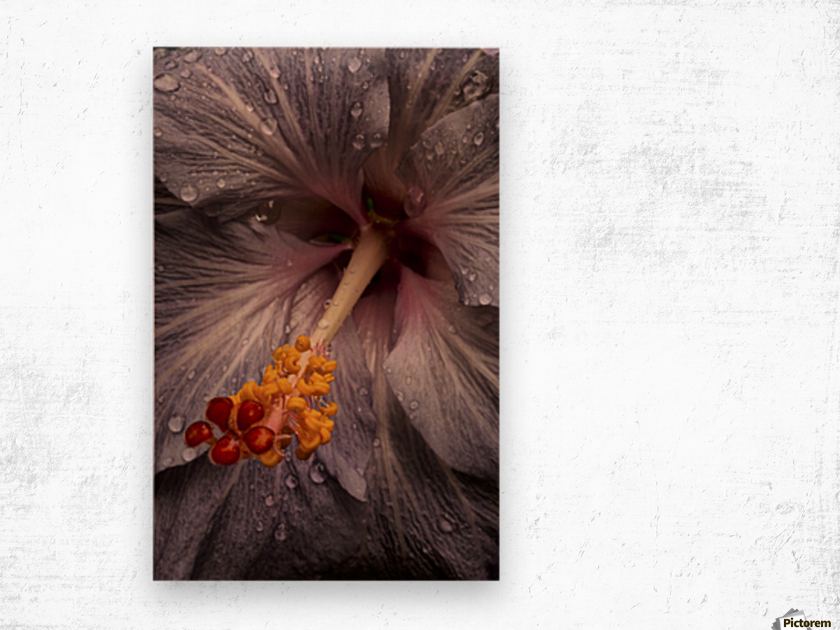 Close up of a Hibiscus flower with water droplets; Hawaii, United States of America Impression sur bois