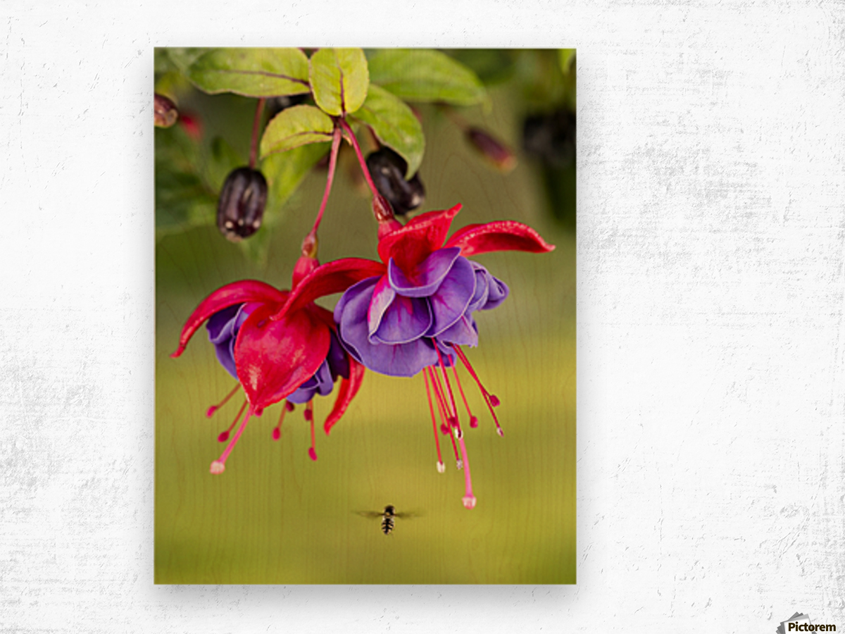 Close up of fuchsia and insect in garden; South-central Alaska; Eagle River, Alaska, United States of America Wood print