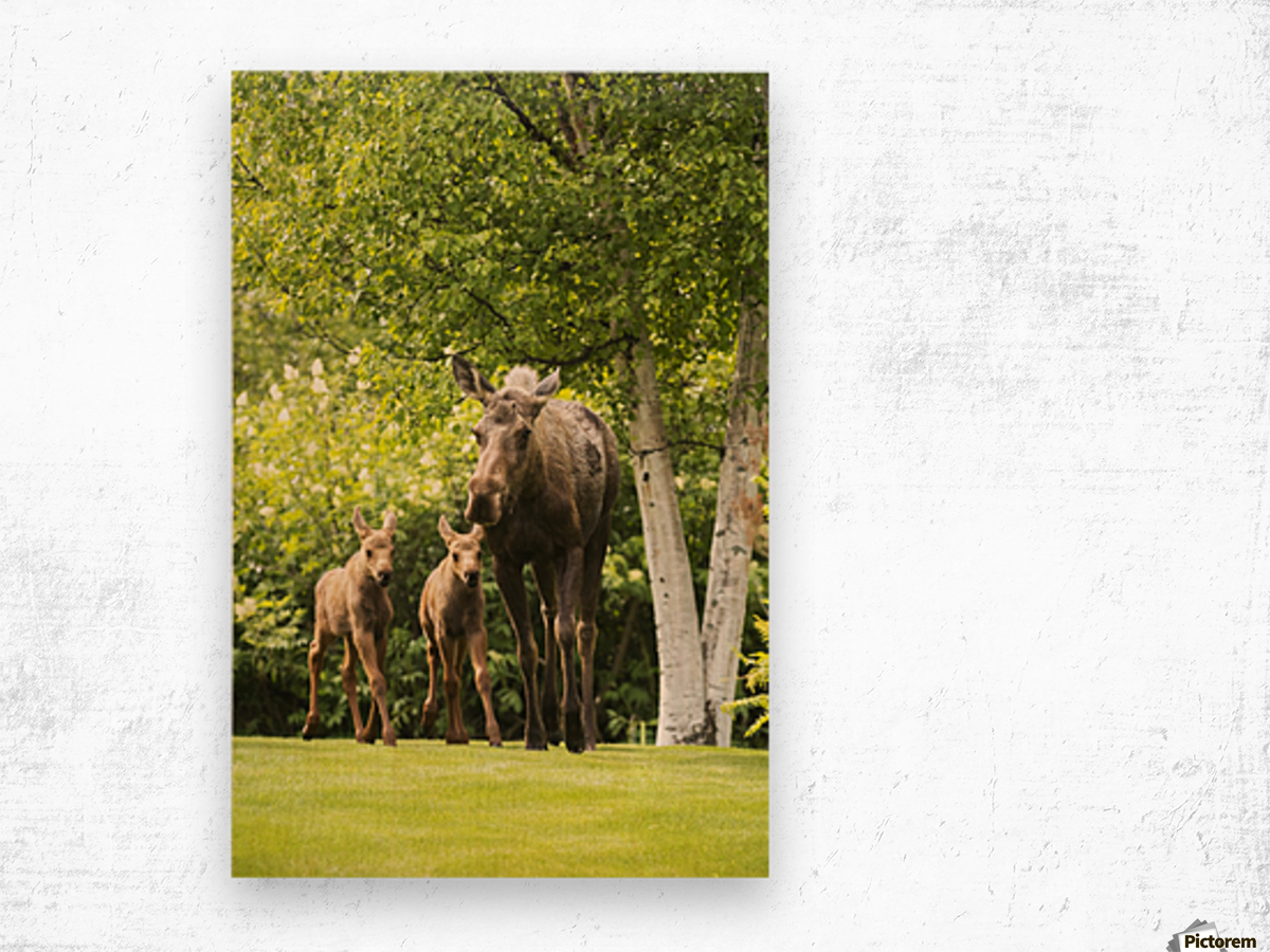 A cow moose (alces alces) with her calves on green grass with lush green foliage; Anchorage, Alaska, United States of America Wood print