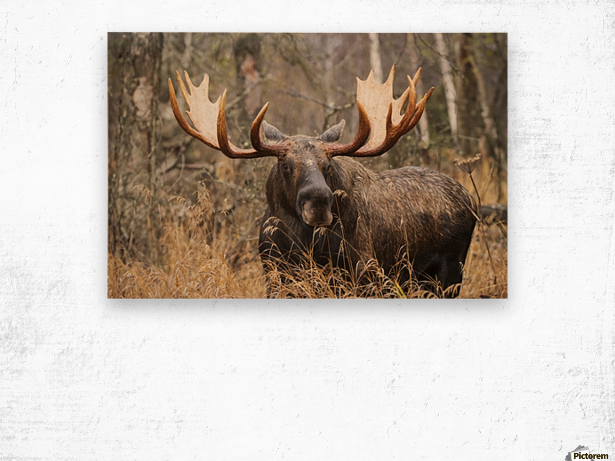 Bull moose (alces alces) in rutting season; Anchorage, Alaska, United States of America Wood print