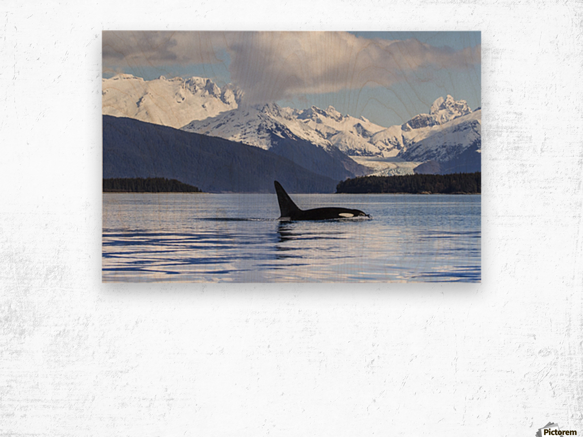 An Orca Whale (Killer Whale) (Orcinus orca) surfaces in Lynn Canal, Herbert Glacier, Inside Passage; Alaska, United States of America Wood print