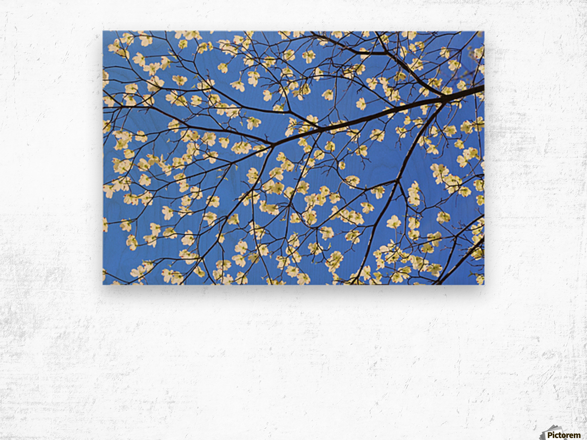 Blue Sky and Dogwood Wood print