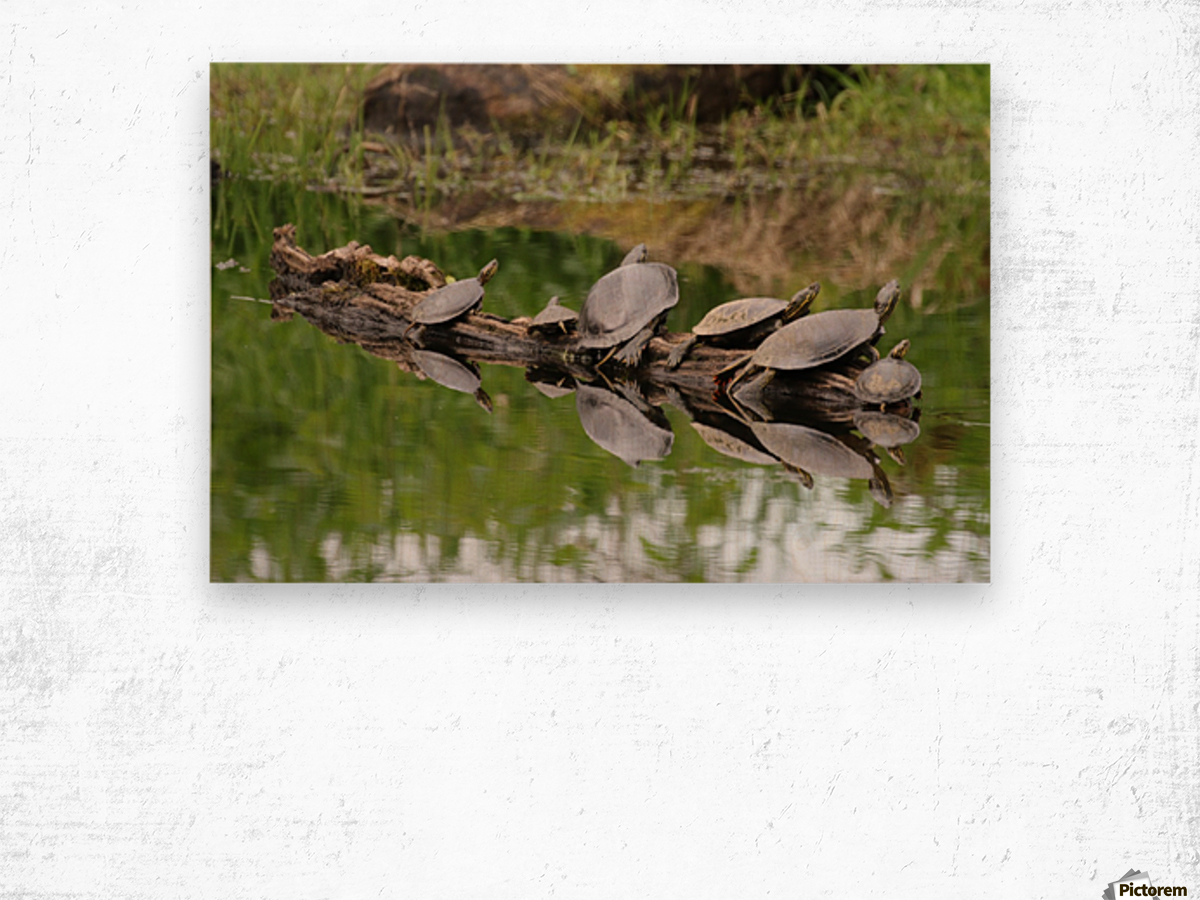 Turtle reflections Wood print