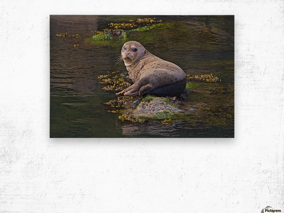 Sea lion near Depoe Bay, OR Wood print