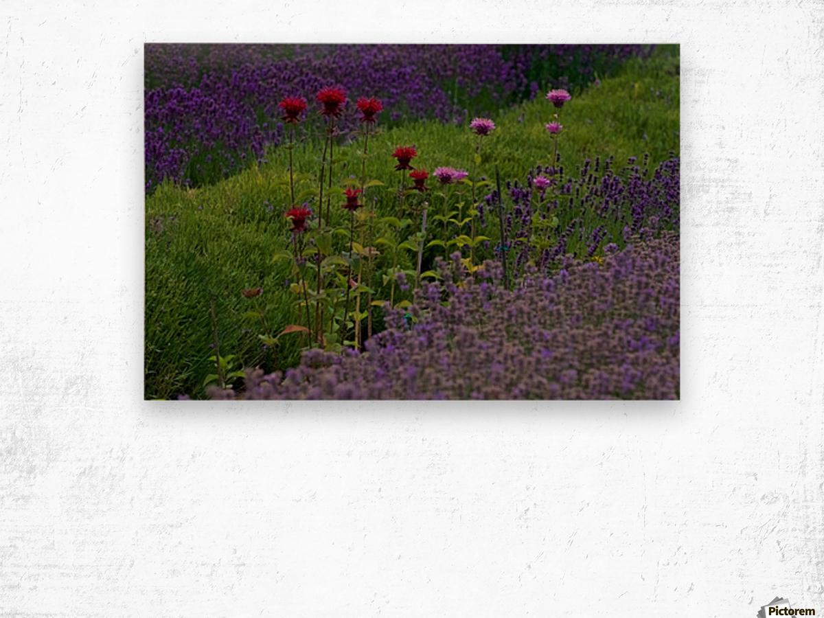 Bee Balm Blooming in Lavender Field Wood print